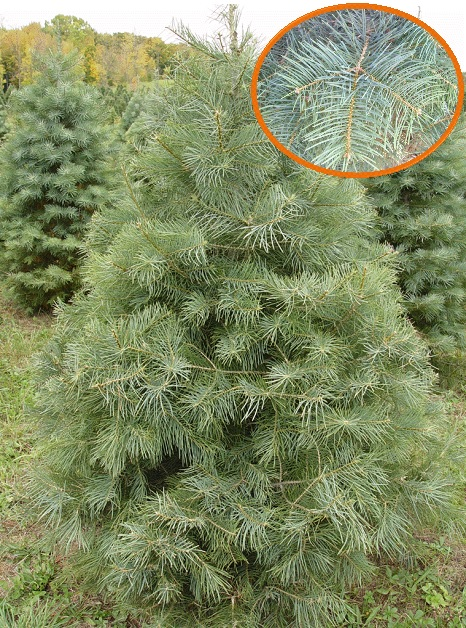 Palmer Christmas Tree Farms